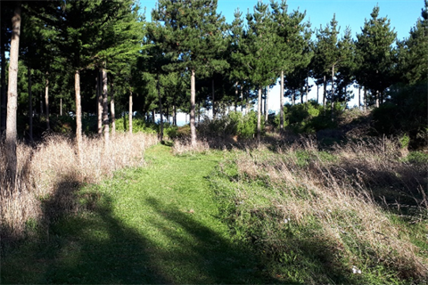 Ferry Reserve Track - grassy path through pine trees.